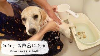 みみちゃんのお風呂の一部始終をまとめてみました♪ ラブラドール・レト...
