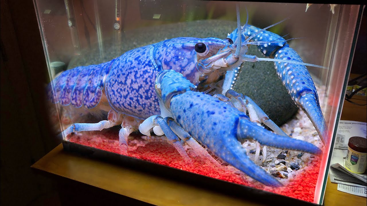 New Giant Blue Lobster For My Aquarium Youtube