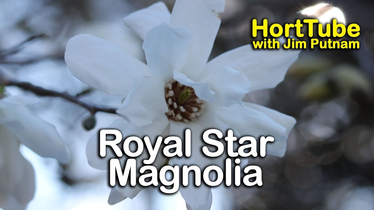 How To Grow Royal Star Magnolia Pure White Fragrant Spring