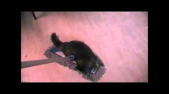 Siberian cat Apila