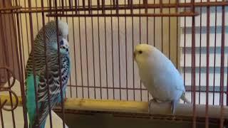 #52 2018 Breeding: quarantine birds looking good!