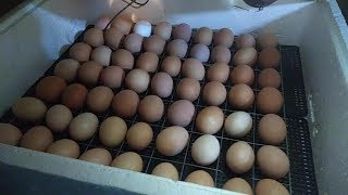 Начало инкубации куриных яиц. Режим 1 периода инкубации.