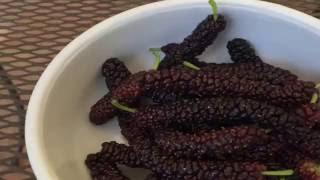 Pakistani Mulberry Video
