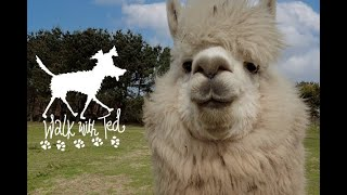 Ted meets the Alpacas