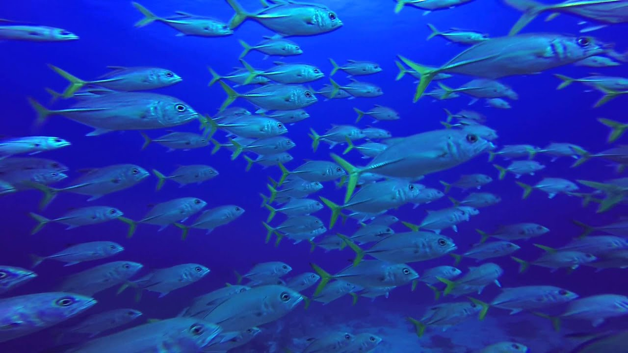 School Of Fish Swimming By Me Today In Utila, Honduras