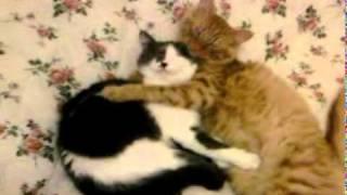 коты спят в обнимку