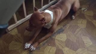 Питбуль Бонни: Как надо ругать собаку!)))