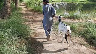 Goat and Boys meeting & Treatment in Village Farming Goats Provide injection Fever