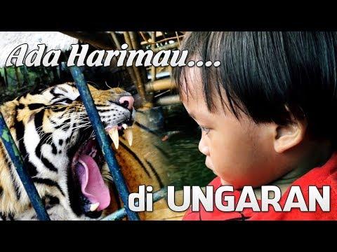 ada-harimau-di-mang-engking-ungaran-april-2019