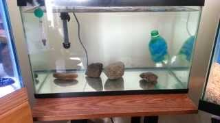 My convict cichlid fry tank ( Just got some fry! )