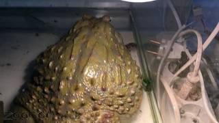 Как лягушка-водонос какает (гадость :))