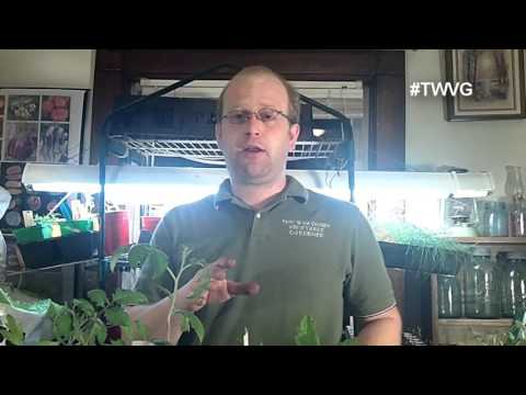 Re-Potting & Trimming Tomatoes and OCAs The Wisconsin Vegetable Gardener