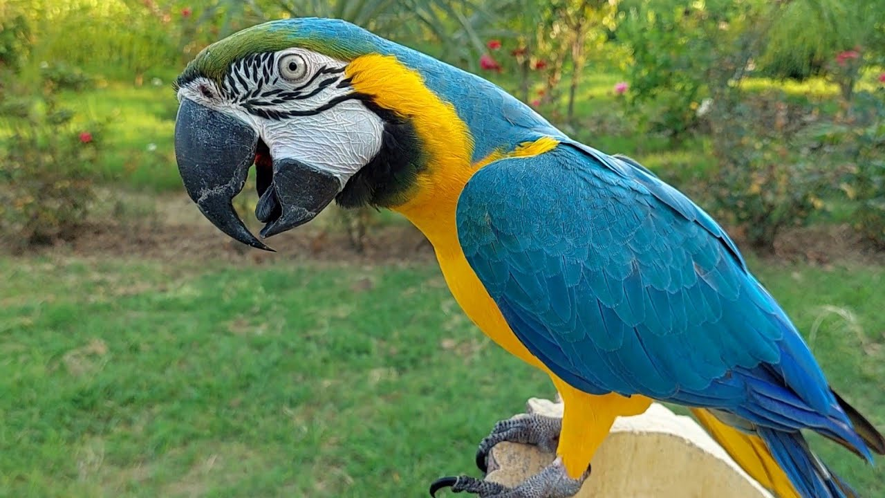 Macaw Natural Sounds and Calls