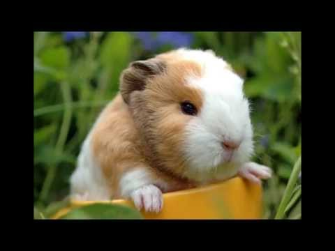 cute guinea pig pictures # 1