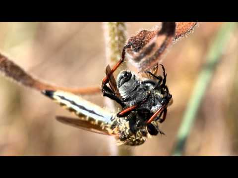 Robber fly killing a beetle