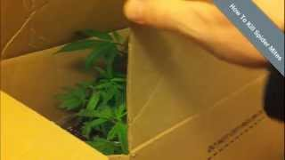 How To Get Rid Of Spider Mites on Medical Marijuana - Home Weed Grow Tips