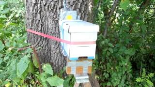 White Ash Tree Bee-Tree Trap Out