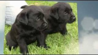 Labrador Puppies For Sale In Nsw Australia
