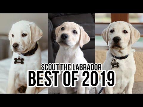 LABRADOR PUPPIES BEST MOMENTS 2019!!