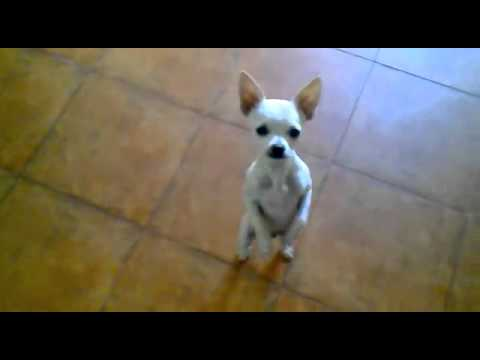 Dancing Mexican Dog