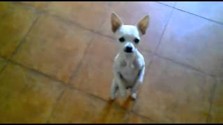 Dog dancing funny mexico funny music