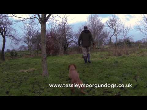 Residential Gundog Training Indi the Wirehaired Hungarian Vizsla
