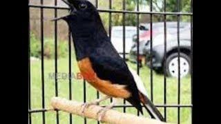 Ciri Ciri Dan Harga Terbaru Burung Murai Batu Jambi Lengkap