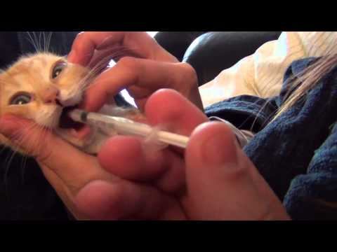 3 kittens reaction to cat flu medicine - yucky disgusting but funny