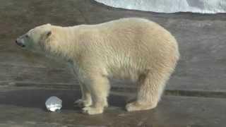 Белые медведи. Дикие животные. Видео для детей. Polar bears. Ижевск