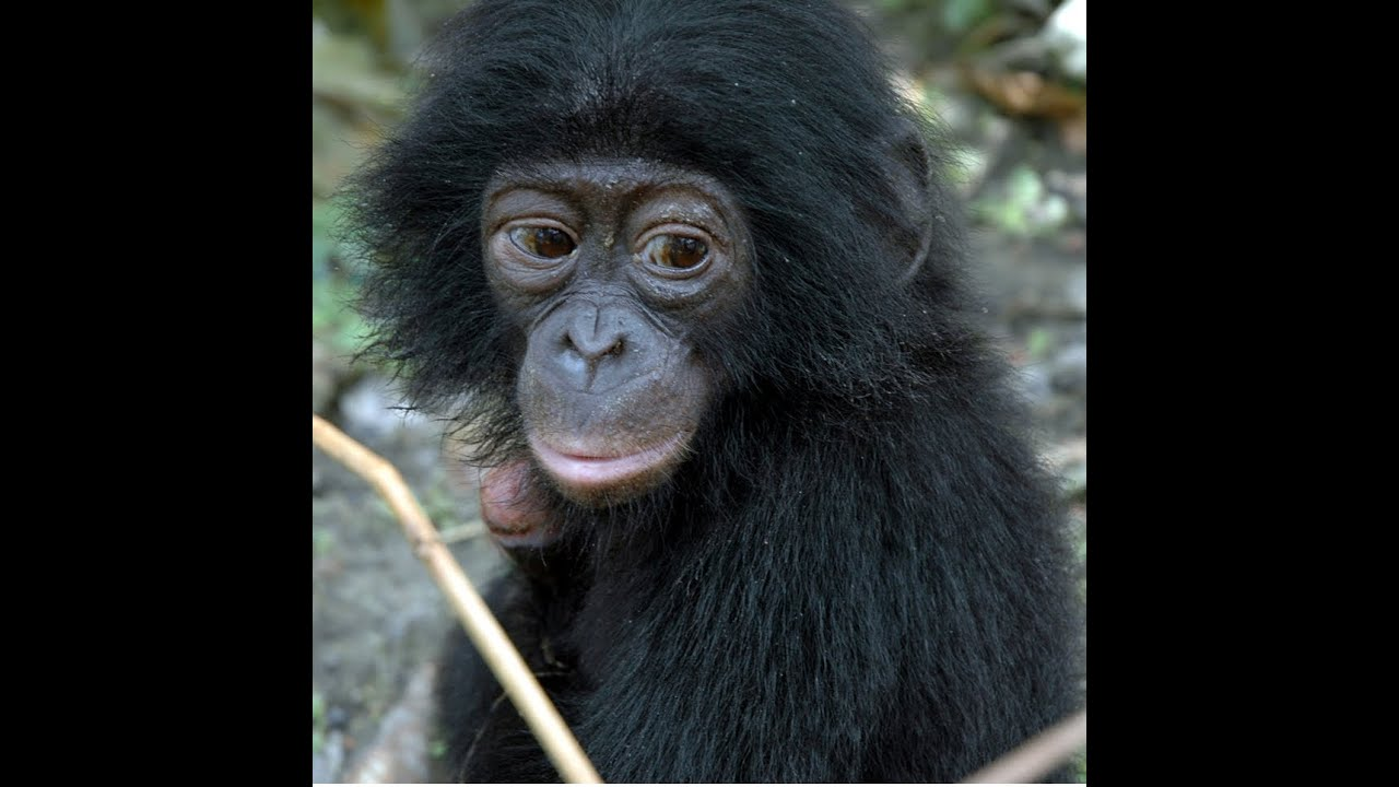 image Bonobo as hot as she039s tall