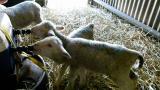 Lamb Milk Self Feeder - Homemade