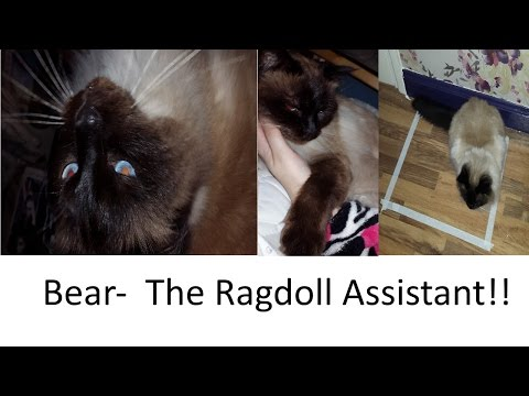 Bear  My Ragdoll Cat Assistant 2