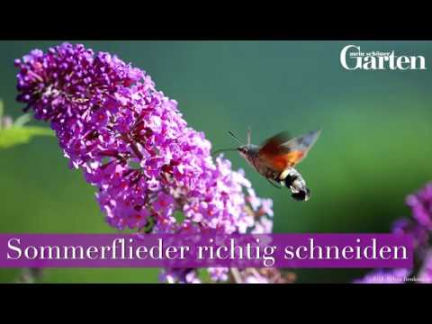 gartentipp sommerflieder schmetterlingsflieder richtig schneiden youtube. Black Bedroom Furniture Sets. Home Design Ideas