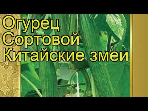 Огурец сортовой Китайские змеи. Краткий обзор, описание характеристик, где купить семена