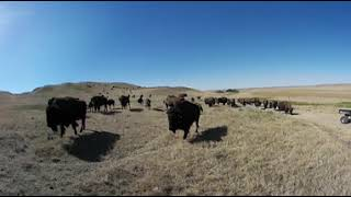360° Bison Experience