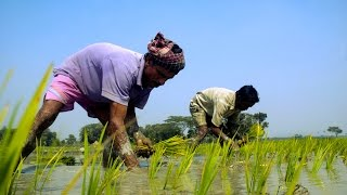 Rice Plantation in Bangladesh