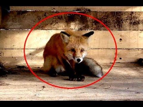 Вопрос: Чем закончился визит молодого лиса во французский курятник?