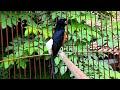 Kicau Burung  Ampuh Memikat Burung Murai Batu Untuk Tarung Dan Cepat Gacor  Mp3 - Mp4 Download