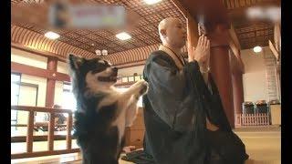 Chú chó nhà Phật, chỉ rau dưa, nghiêm túc tụng kinh khiến cho du khách thập phương tôn thờ như thần