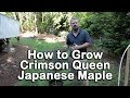 How to grow Crimson Queen Japanese Maple (Crimson Laceleaf Weeping Japanese Maple)