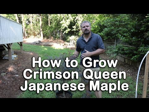 How To Grow Crimson Queen Japanese Maple Crimson Laceleaf Weeping