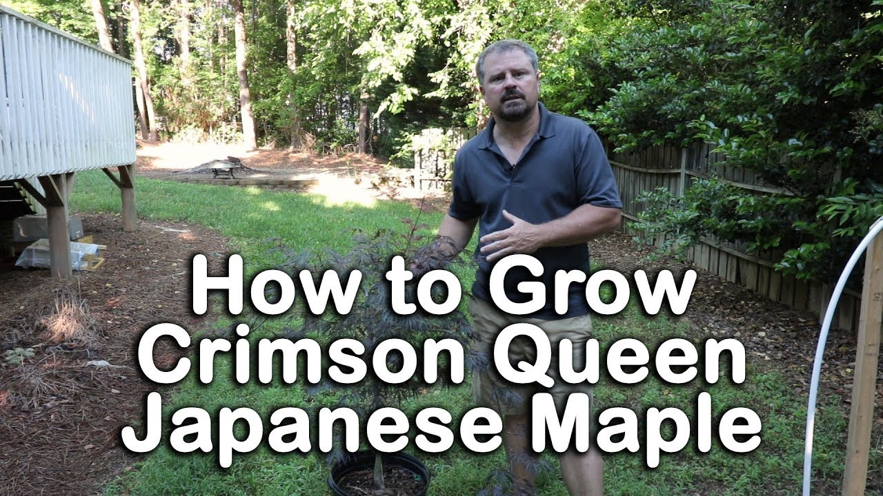 How To Grow Crimson Queen Anese Maple Laceleaf Weeping