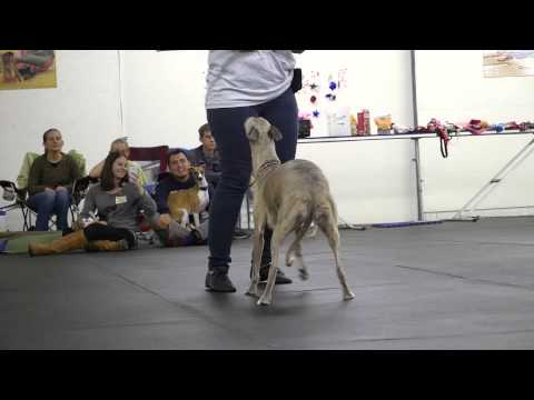 Whippet Reunion: How Breeders Match Dogs with Owners