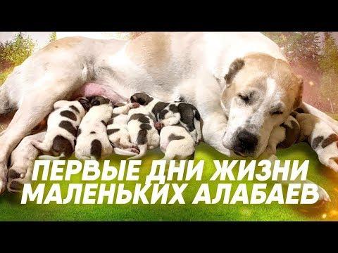 Щенки Туркменского Алабая   Все о щенках породы алабай