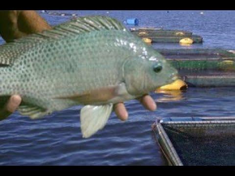 Vende se tanque rede para a cria o de til pias for Construccion de estanques para tilapia