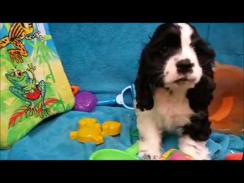 Male Cocker Spaniel Puppy