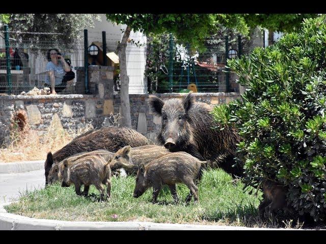 Aç kalan domuz sürüsü ilçe merkezine indi