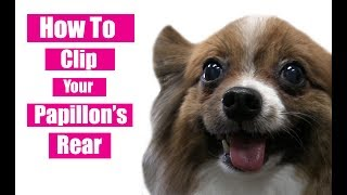 How To Clip Your Papillon's Rear