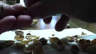 割れ目が少ない殻の硬いピスタチオを簡単に割って実を取りだす方法。 深...