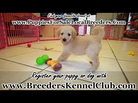 Goldendoodle, Puppies For Sale, In Mobile, County, Alabama, AL, 19Breeders, Tuscaloosa, Decatur